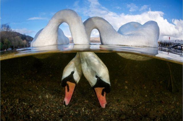 Dos cisnes alimentándose bajo el agua.