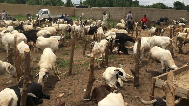 Sellers don already start to display dia rams for Kano northwest Nigeria