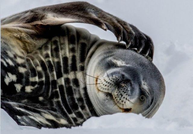 威德爾海豹會用牙齒戳穿海冰以呼吸。