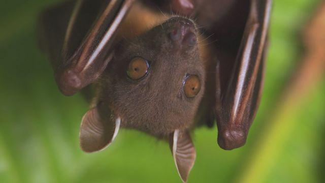 خفاش فاكهة في تايلاند