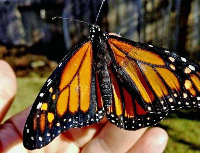 метелик
