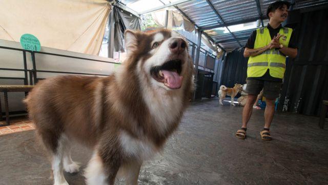 ร้าน Big Dog Cafe มีสุนัขพันธุ์ใหญ่ที่หายากหลายชนิด ทุกตัวได้รับการดูแลอย่างดี