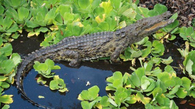 Crocodilo em pântano da Flórida