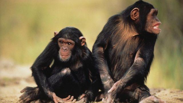 Два шимпанзе