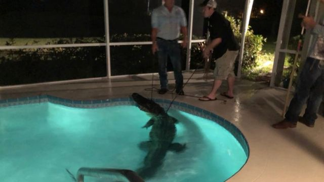 Aligator in pool