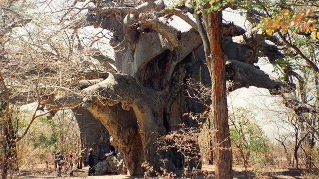 Панке - предположительно самый старый баобаб в Африке - на фото 1997 года