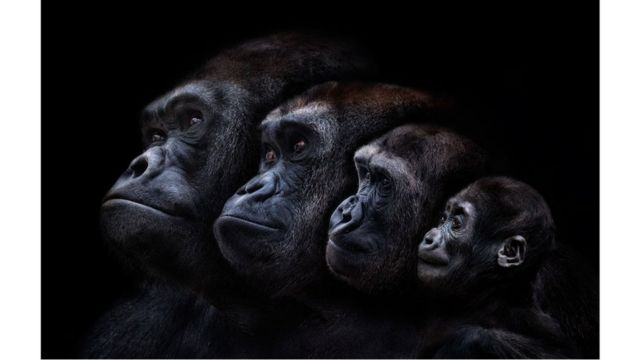 Familia de gorilas.