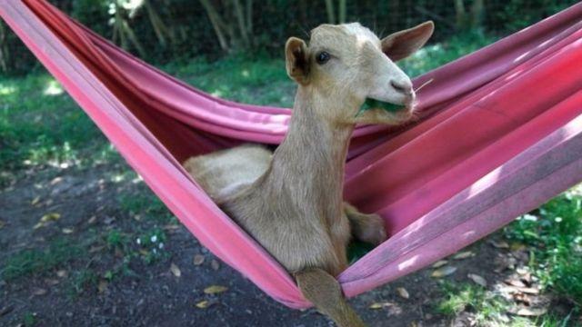 Hamakta yatan bir keçi.