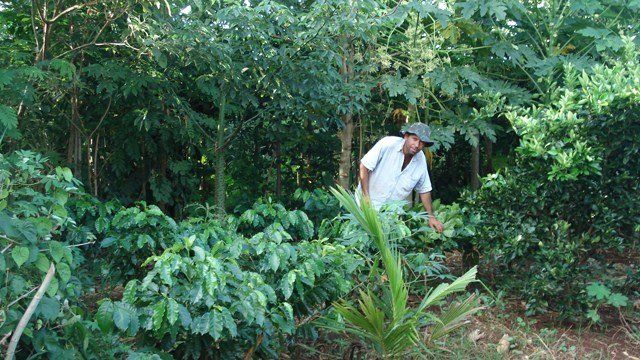 Sistema agroflorestal