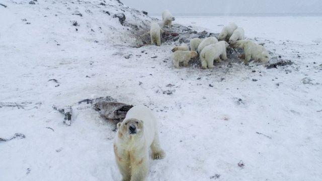 Konzervacionisti su izbrojali 56 medveda u blizni Rirkajpija, uključujući i mladunce