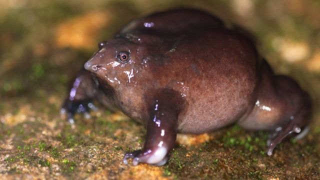 The little-known purple frog