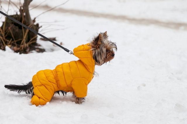 A little dog in the snow wearing a coat