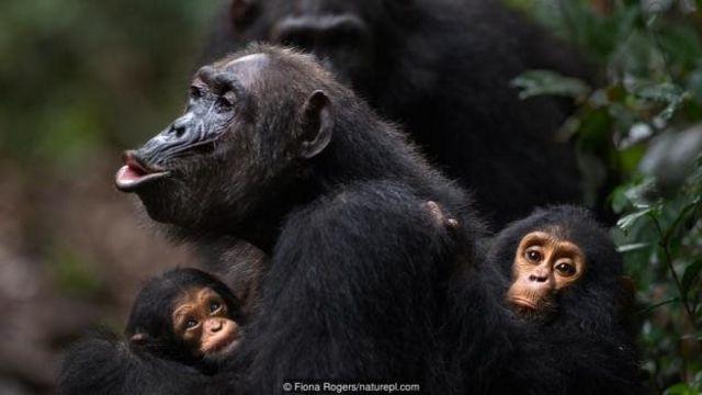 Chmpanzee