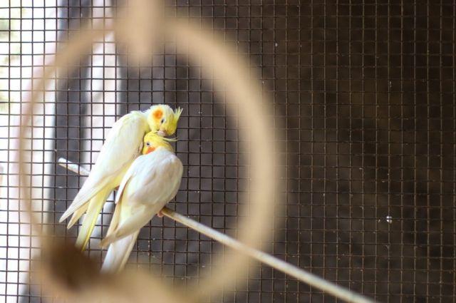 Два птахи у клітці