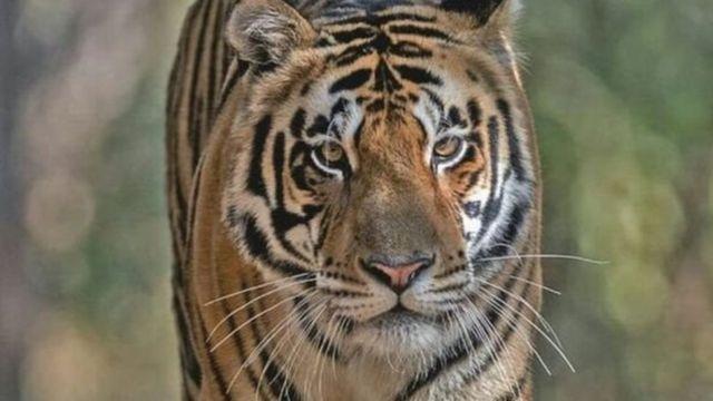 เอ็มบี 2 เป็นเสือตัวแรกที่ถูกเคลื่อนย้ายเพื่อไปช่วยเพิ่มประชากรเสือในรัฐโอริสสา