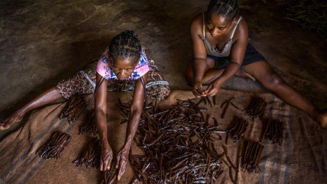 เกษตรกรหญิงกำลังตากฝักวานิลลา