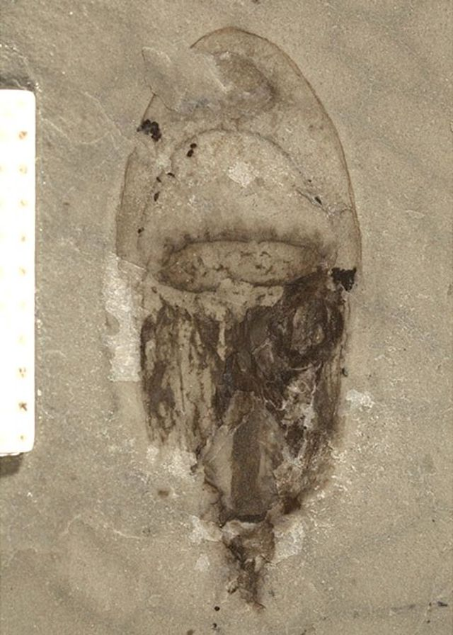 Fosil meduze