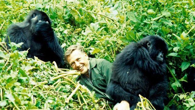 1978年,艾登堡爵士拍摄大猩猩。