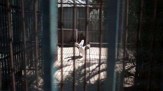 Пеликан в клетке
