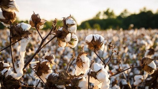Cotton has become one of the most unsustainable crops on the planet