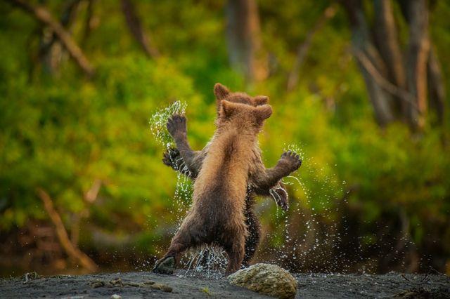 Dos osos pardos juegan en Rusia.