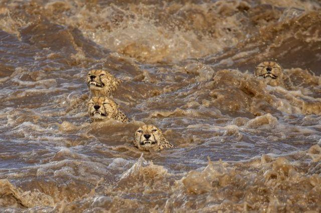 Male cheetahs swim across a fast-flowing river