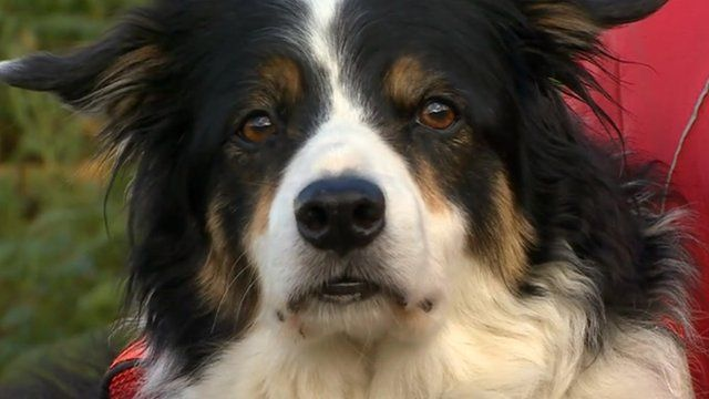 """""""Ginny"""" Lakeland's record-breaking search and rescue and rescue collie"""