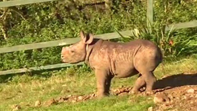 Eastern black rhino calf