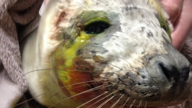 Sick seal dies after being 'harassed' into sea in Cornwall