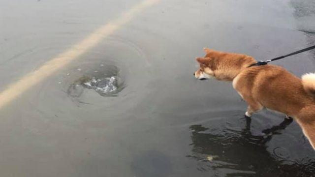 Dog Jubei examines the flood water