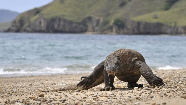A Komodo dragon searches the shore for prey