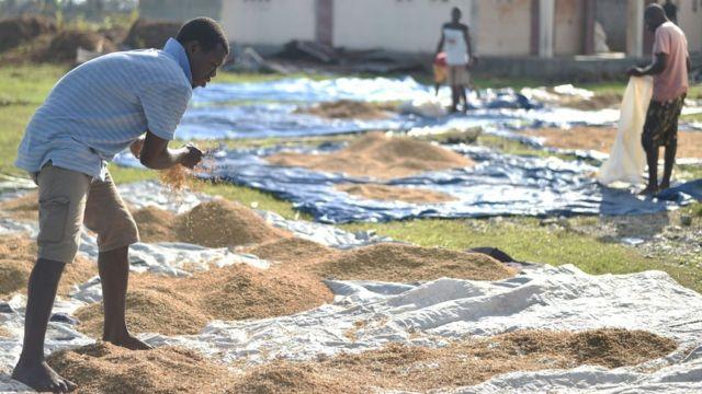 Las siembras de arroz en la localidad de Les Cayes, en el suroeste del país, se mojaron tras el paso de Matthew. Aquí los agricultores intentan secarlas.