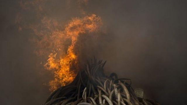 حرق كميات كبيرة من العاج