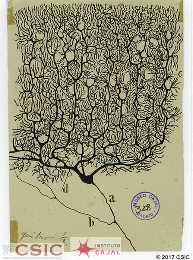 """Este hermoso dibujo de una célula de Purkinje ilustra la portada del libro """"The beautiful brain, los dibujos de Santiago Ramón y Cajal""""."""