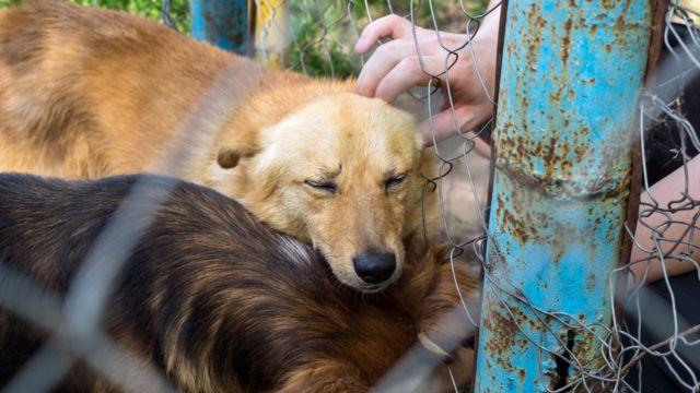 Dois cachorros retidos dentro de cerca, um deles recebendo carinho de uma mão humana
