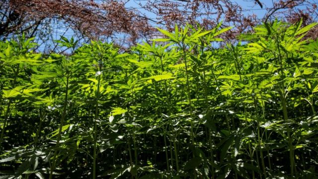 Plantones de marihuana