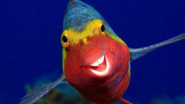 Un Sparisoma cretense fotografiado sonriendo en las Islas Canarias