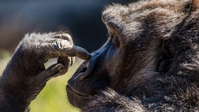 Gorila tocándose la nariz.