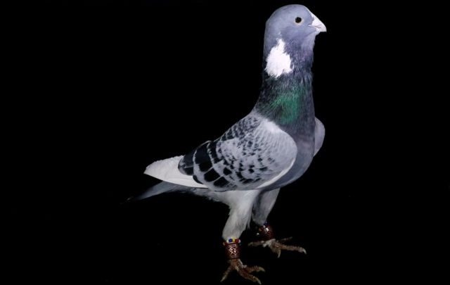 A pigeon, known as Zirhli, with an approximate market value of 1000 Turkish Lira