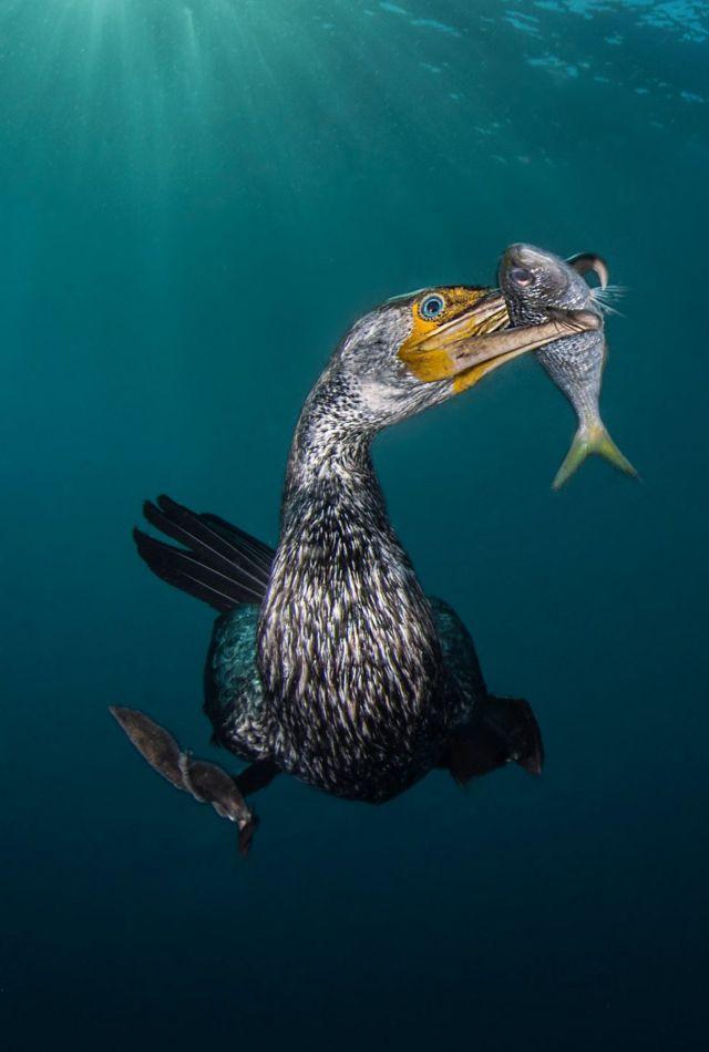 Un cormorán con un pez en su pico