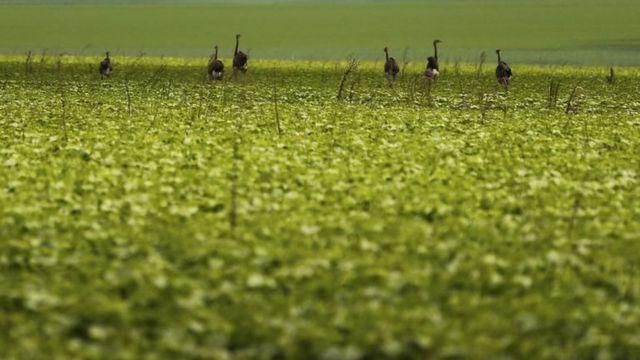 Emas vistas em plantação de soja em Goiás