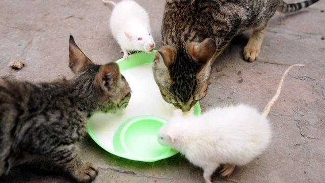 貓鼠一起進食