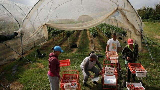 Migrant workers picking strawberries on farm in Kent