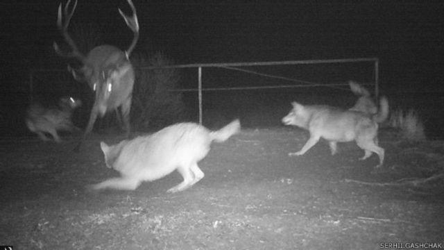 Волчья охота на оленей