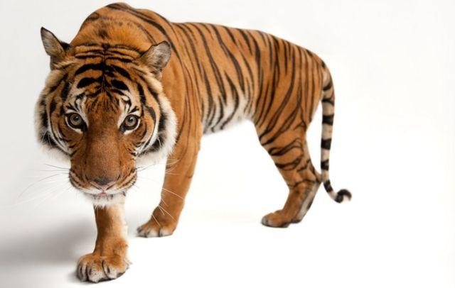 Malayan tiger (c) Joel Sartore