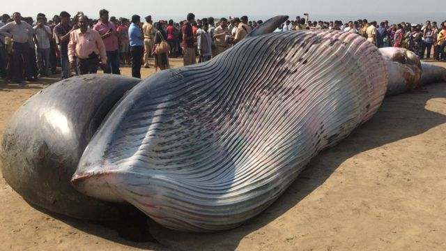 The whale washed up in Mumbai's Juhu beach