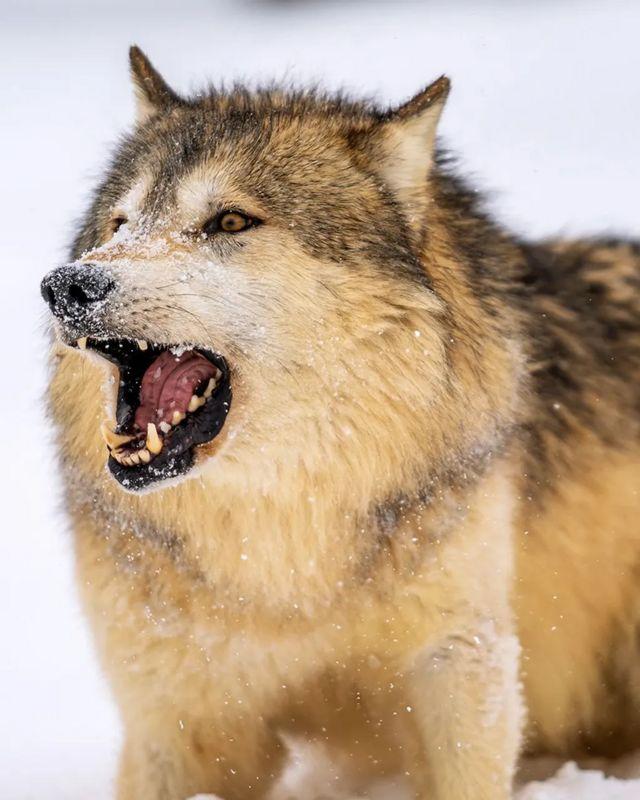 Волки умеют лаять, но делают это нечасто