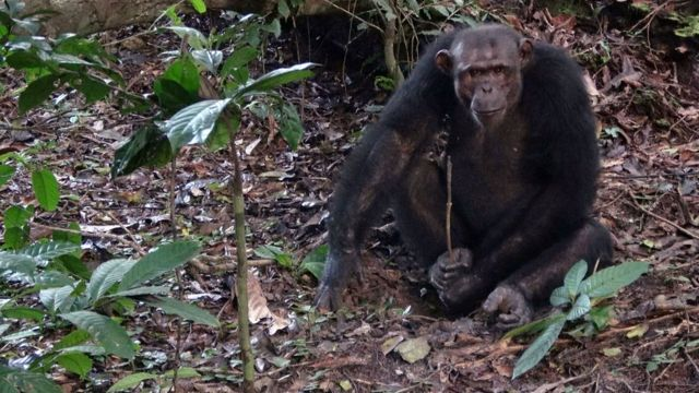An adult male chimpanzee digs for underground honey in Loango, Gabon