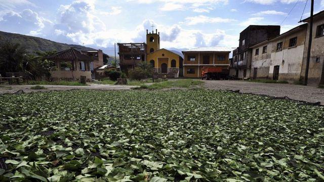 Hojas de coca secándose al sol en Mururata