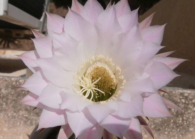 """Женя, Кирьят-Ата, Израиль: """"Цветок кактуса, цветет один раз в году, только один день""""."""